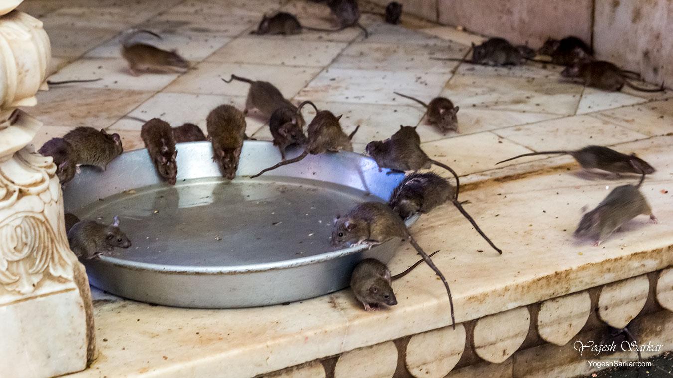 23-karni-mata-temple-rats.jpg