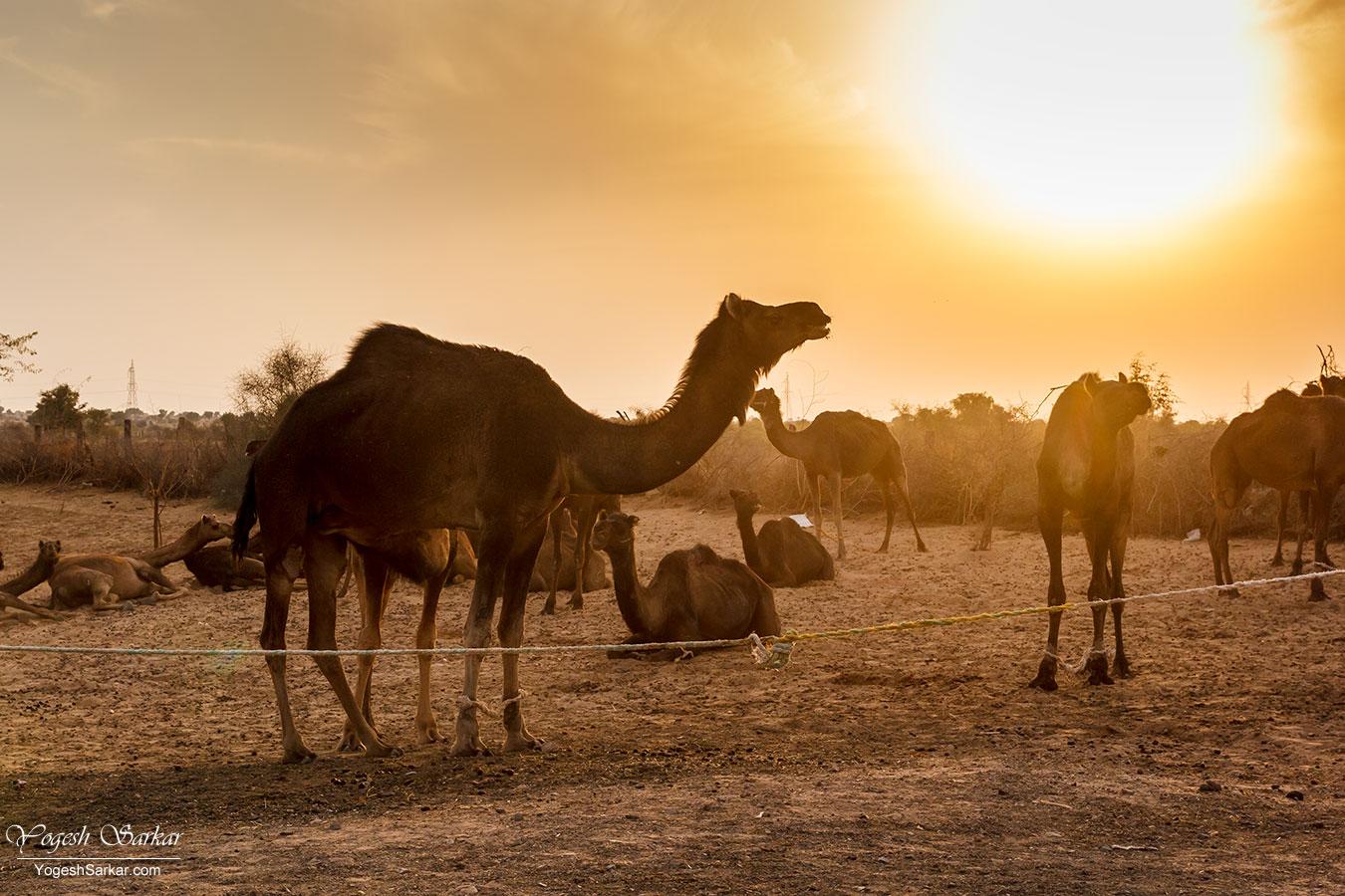 41-camels.jpg