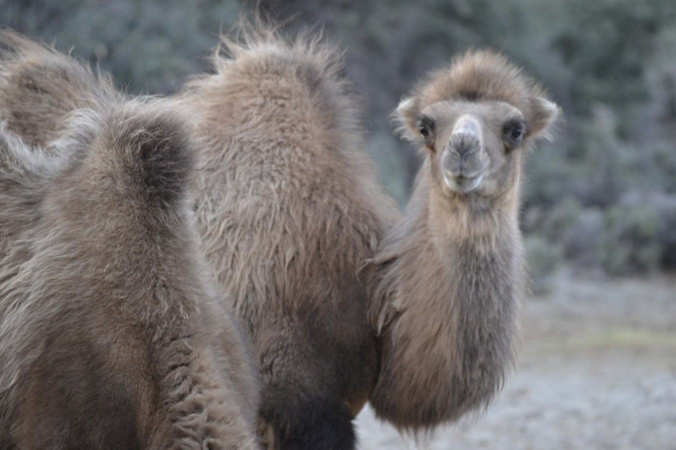 7.8.1 Hunder - Camel.JPG