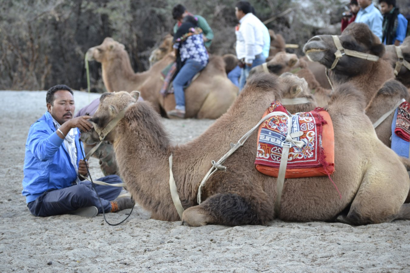 7.8.3 Hunder - Camel.JPG