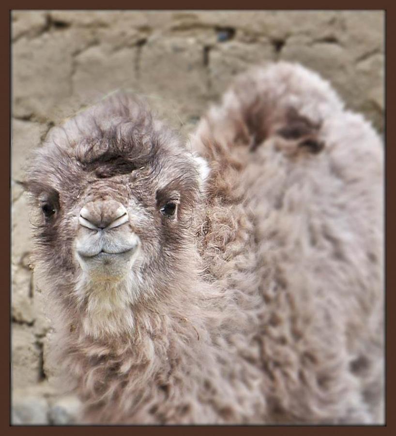 baby camel1.jpg