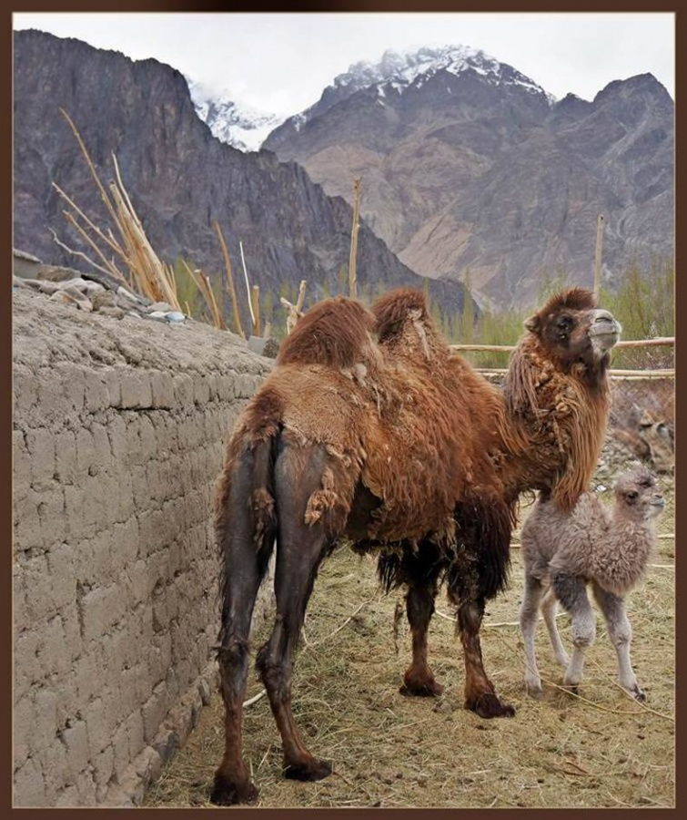 Bactrian camel and baby HGH.jpg