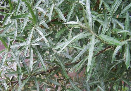 Chharma foliage.jpg