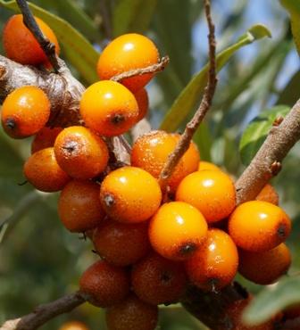 Chharma fruits.jpg