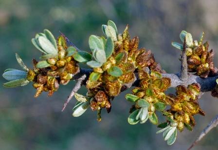 Chharma male flowers.jpg