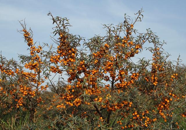 Chharma tree.jpg