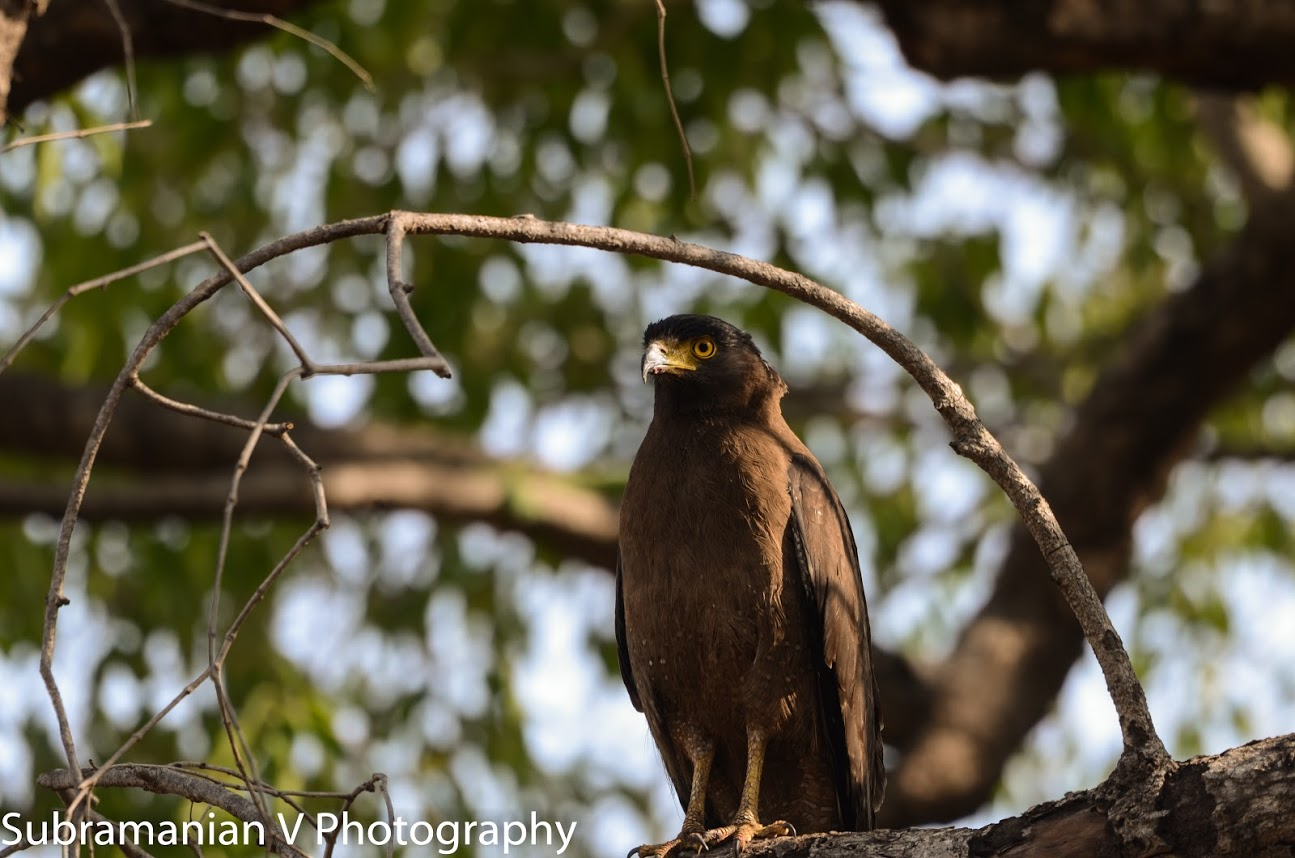 Crested Serpent Eagle.jpg