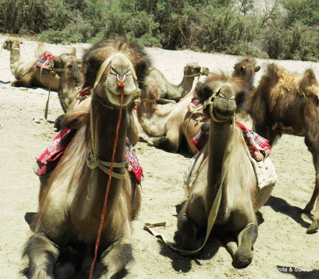 Double hunch camels of Hunder.jpg