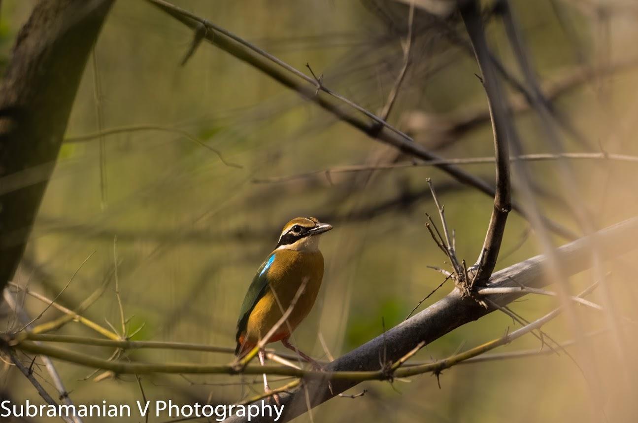 Indian Pitta (2).jpg