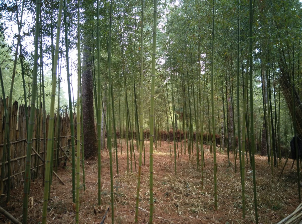 Inside a bamboo grove.jpg