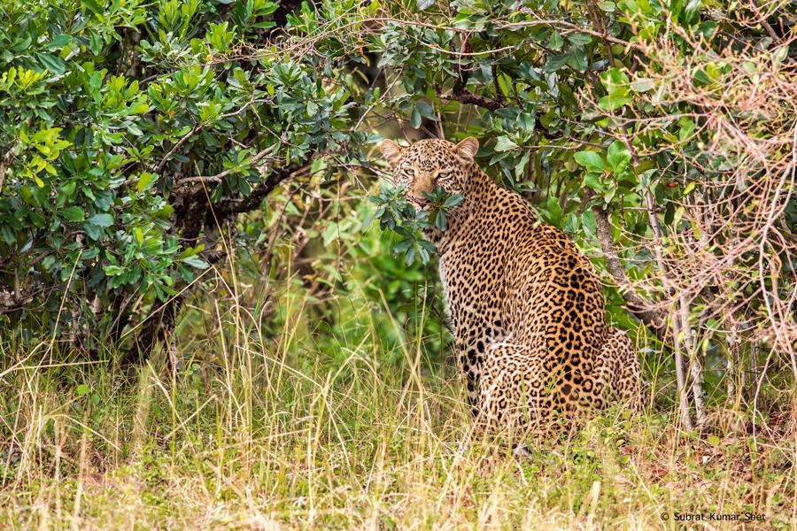 Leopard_T4A5057.jpg