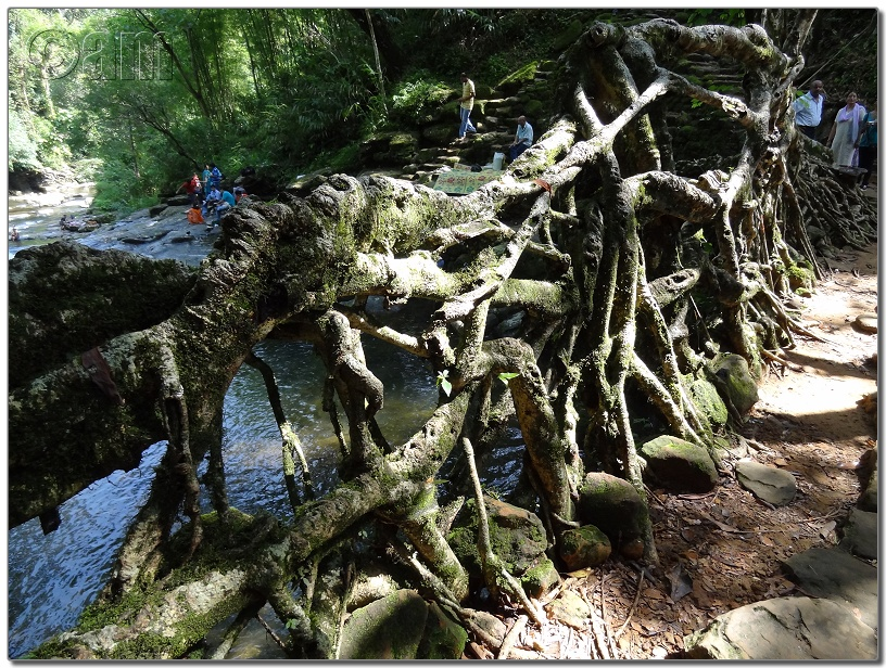 Living Root Bridge-DSC00377.JPG