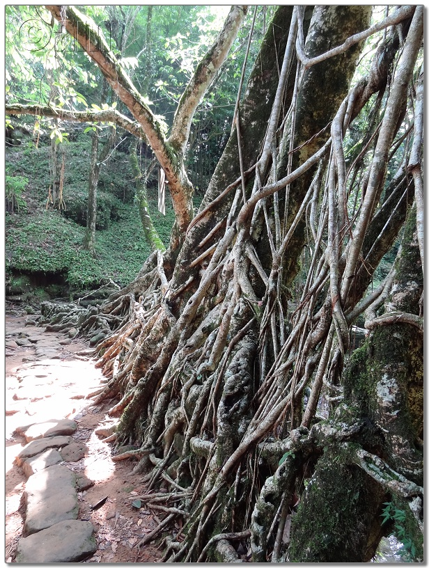 Living Root Bridge-DSC00378.JPG