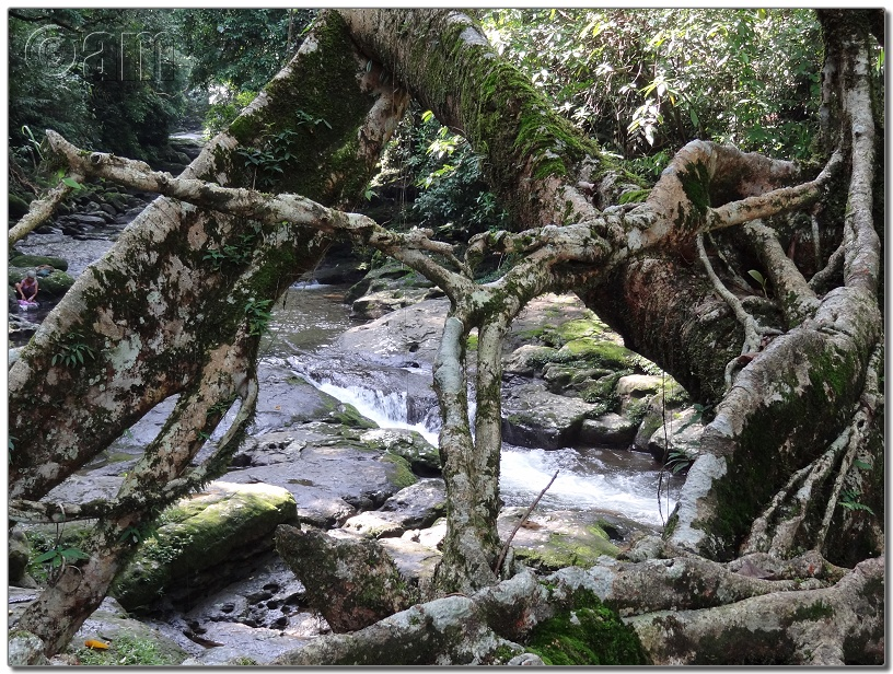 Living Root Bridge-DSC00385.JPG