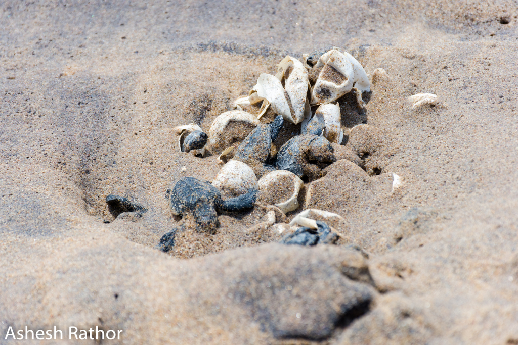 olive ridley hatching (314 of 369).jpg