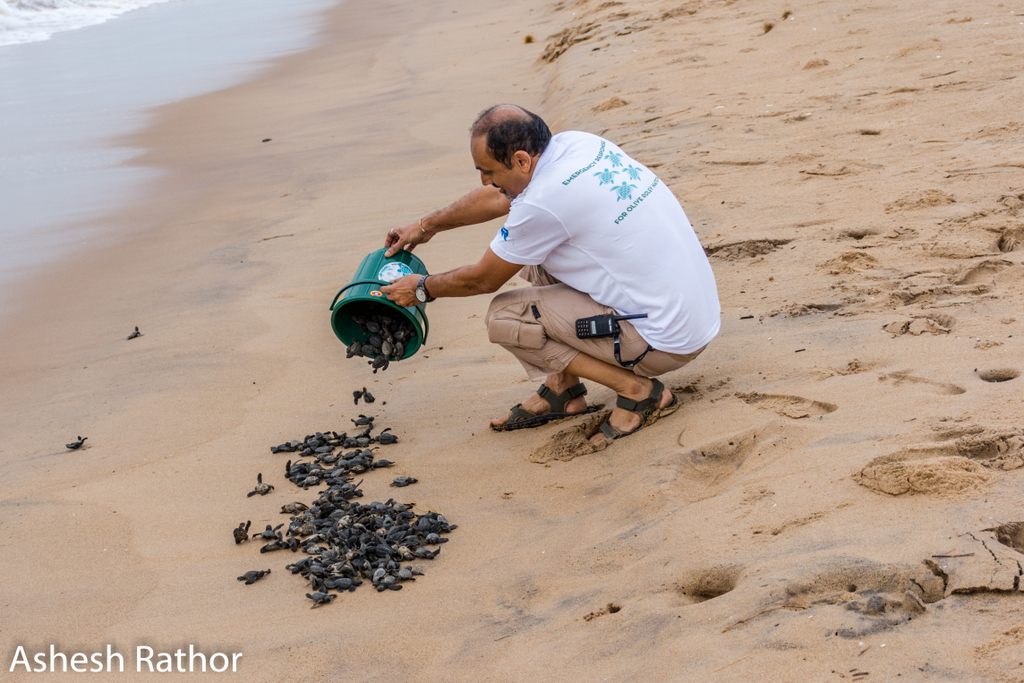 olive ridley hatching (52 of 369).jpg