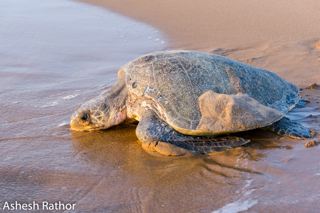 Olive ridley nesting at gokurkuda beach near rushikuly river mouth 2018 (231 of 440).jpg