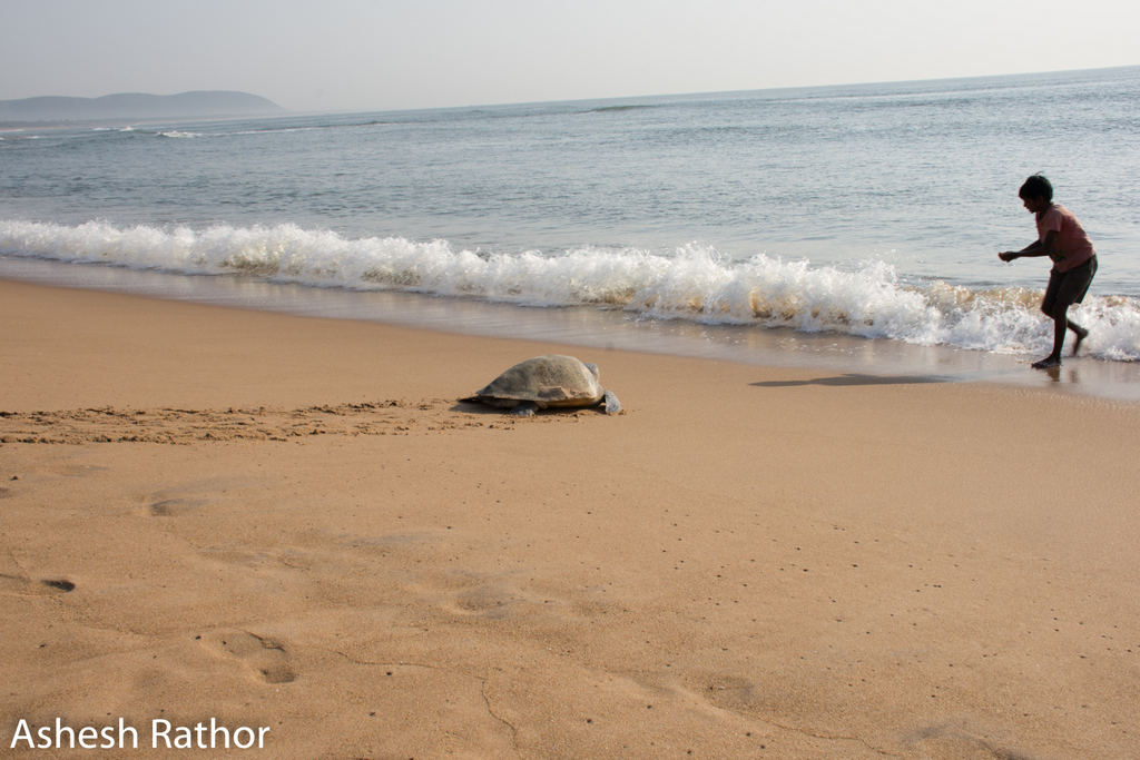 Olive ridley nesting at gokurkuda beach near rushikuly river mouth 2018 (433 of 440).jpg