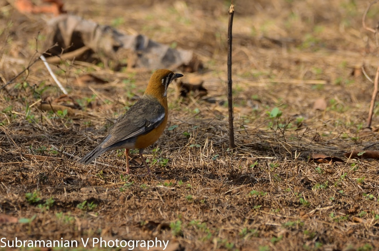 Orange Headed Thrush.jpg