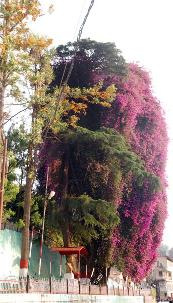 Pink Flower over a tree dsc_2101.jpg