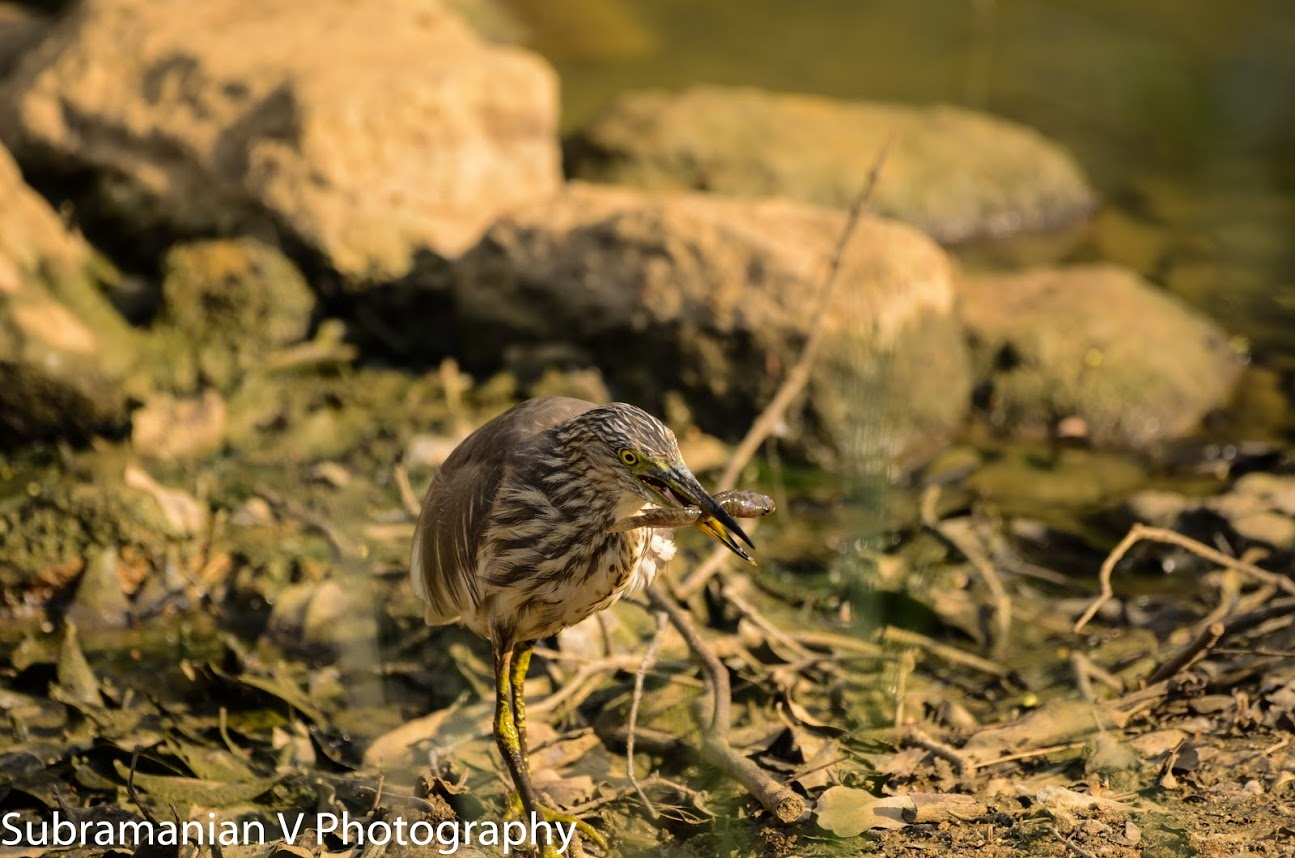 Pond Heron with Breakfast.jpg