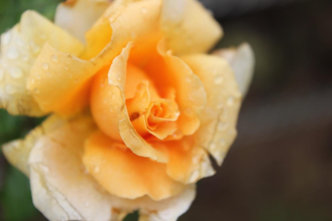 Roses 010.jpg