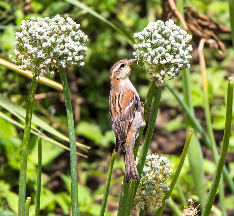 russset-sparrow-on-onion.jpg