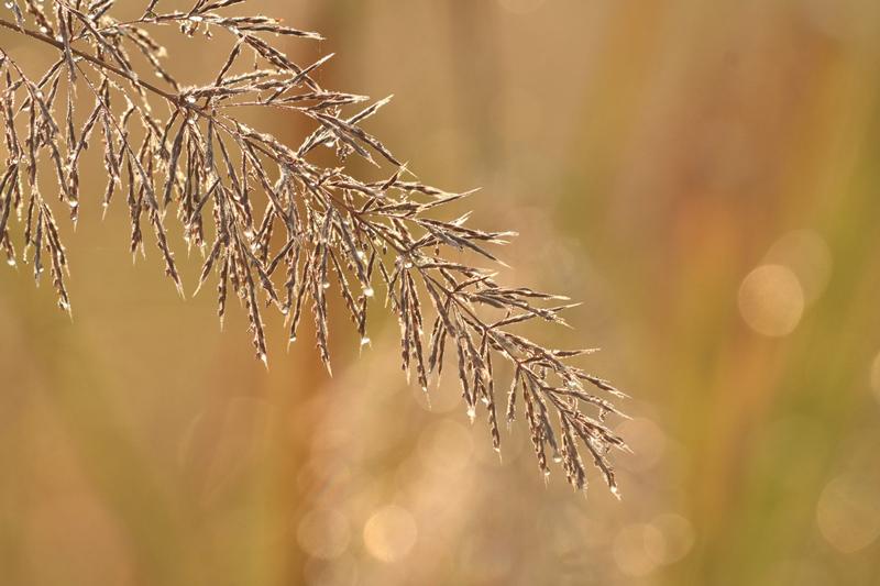 Swarovski_dew_grass.jpg