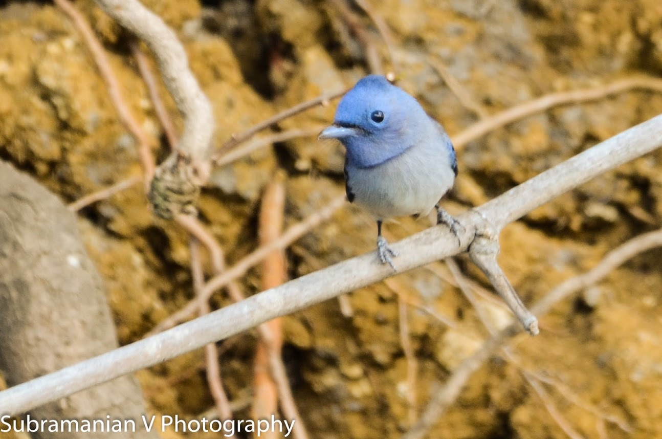 Tickell's Blue Flycatcher.jpg