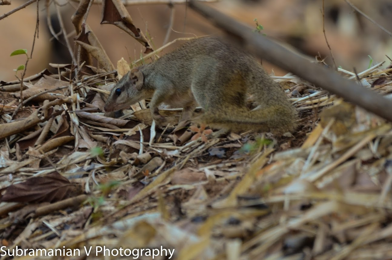 Tree Shrew.jpg