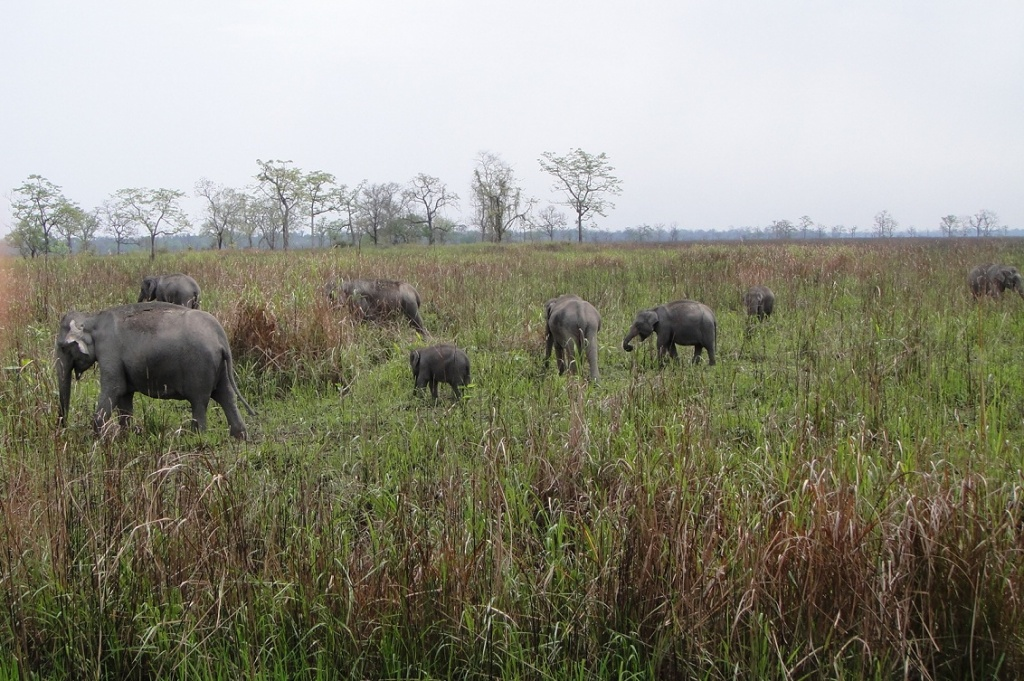 WildElephants@Kaziranga.jpg