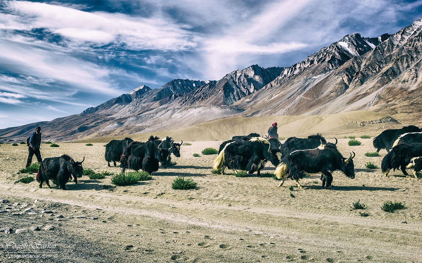 yak-herd.jpg